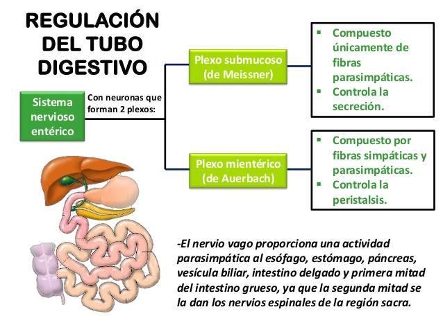 ¿Cómo se regula el proceso de Digestión? 1
