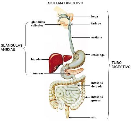 Órganos accesorios del sistema digestivo humano 1